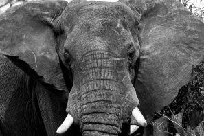 A Black And White Photograph Of The Head And Trunk Of An African Elephant In Murchison Falls National Park, Uganda.