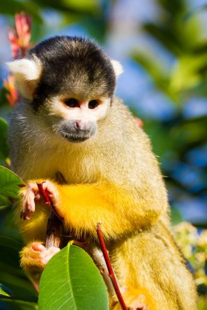 A Photograph Of A Black-Capped Squirrel Monkey At London Zoo.
