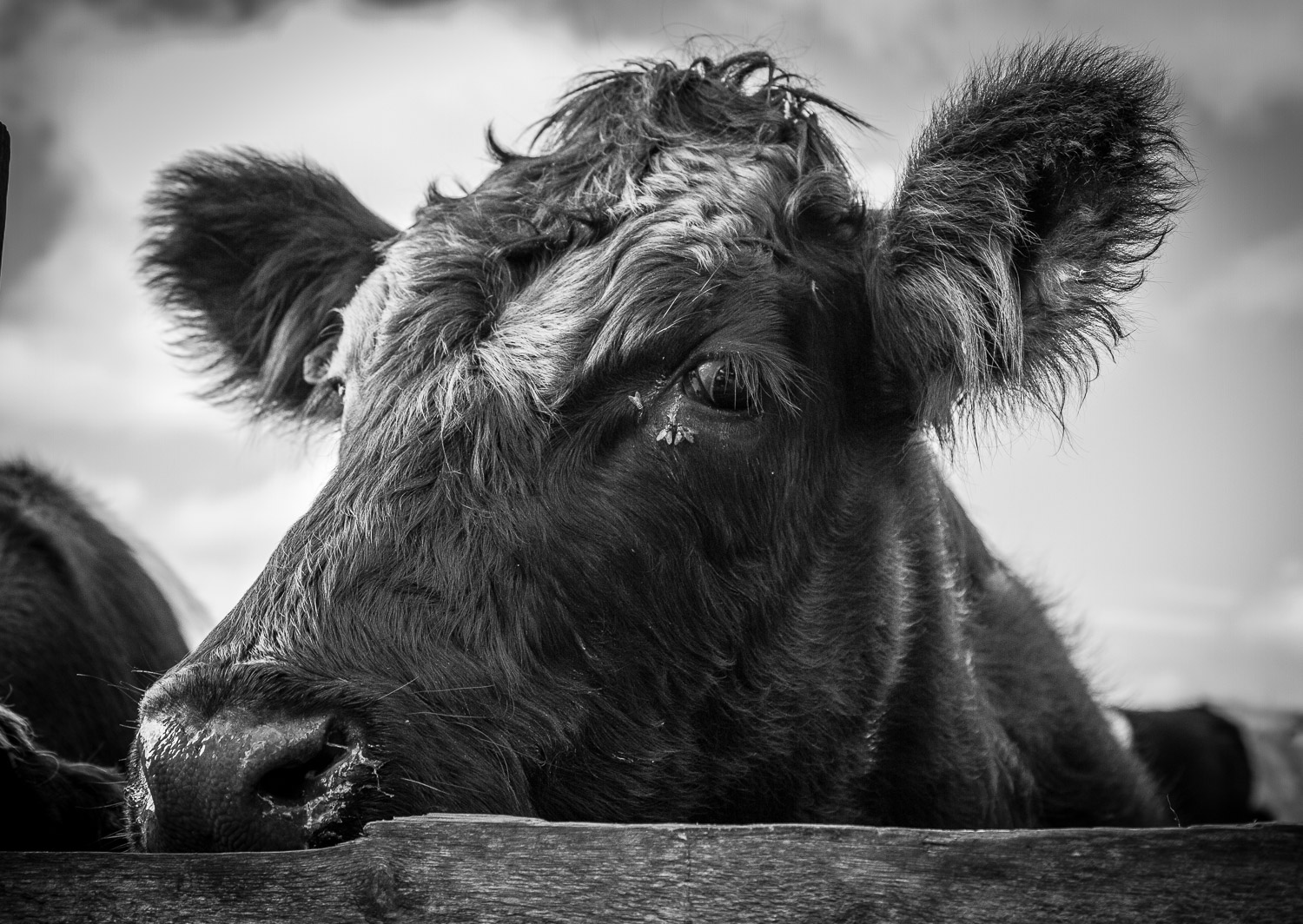 A Black And White Photograph Of A Cow Behind A Fence Looking At The Camera In Gloucestershire, England.
