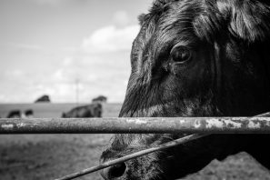 A Black And White Photograph Of A Cow Against A Gate Staring At The Camera In Gloucestershire, England.