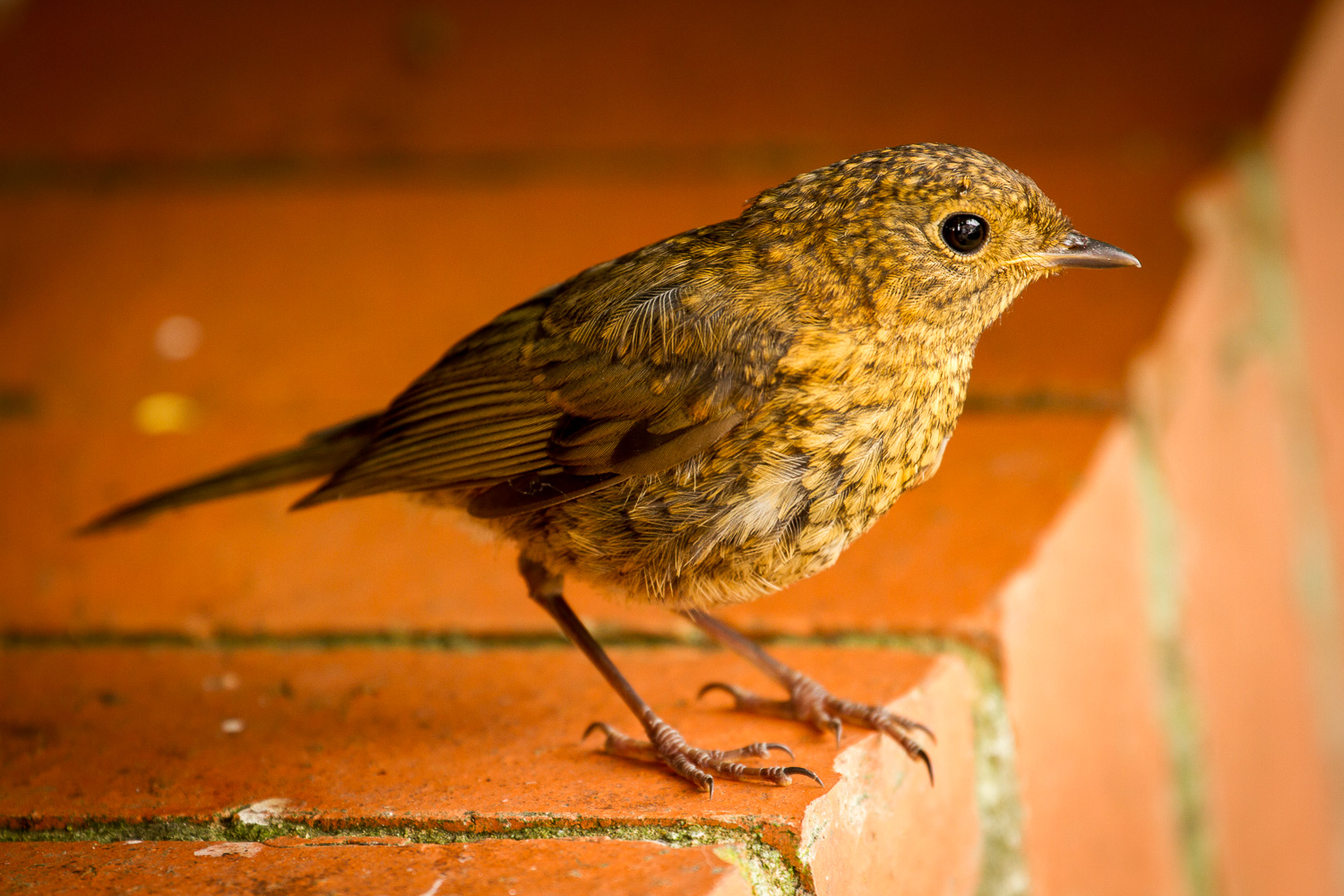 A Close-up Photograph Of A Garden Bird Perched On A Brick Wall And Looking At The Camera, Taking In Gloucestershire, England.