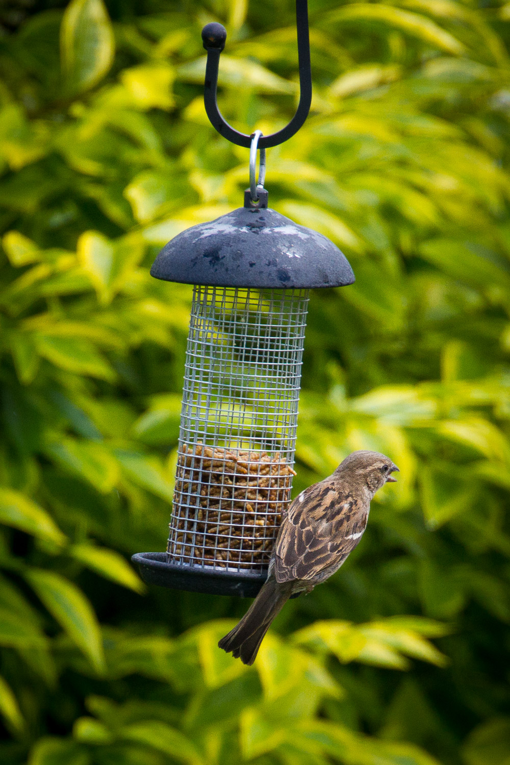 A Photograph Showing A Garden Bird On A Bird Feeder Filled With Mealworm In Gloucestershire, England.