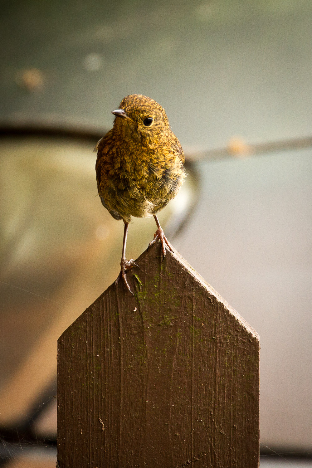 A Photograph Showing A Bird Perched On A Garden Post And Looking Curiously At The Camera In Gloucestershire, England.
