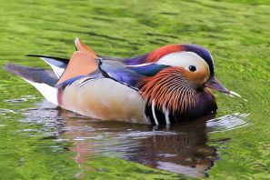 A Photograph Showing A Colourful Mandarin Duck On Queensmere On Wimbledon Common, London.
