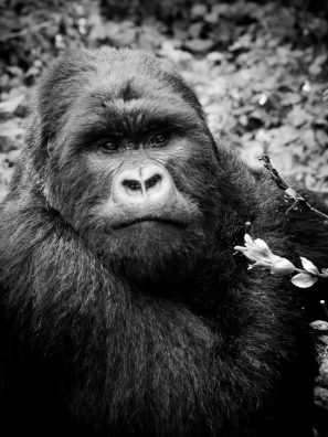 A Black And White Photograph Of A Mountain Gorilla Looking At The Camera In Volcanoes National Park, Rwanda.