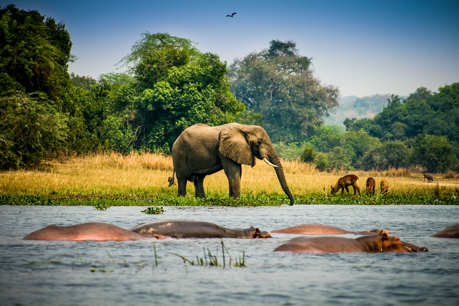 A Photograph Showing A Safari Scene With An Elephant And Hippopotamus In Murchison Falls National Park, Uganda.