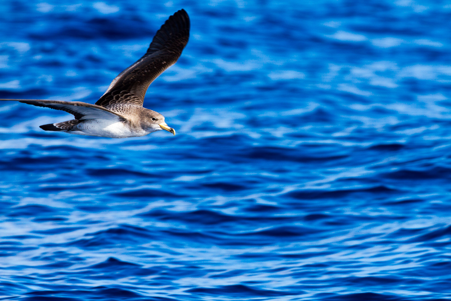 A Photograph Showing A Seabird Flying Low Over The Blue Atlantic Ocean Off The Coast Of La Gomera In The Canary Islands.