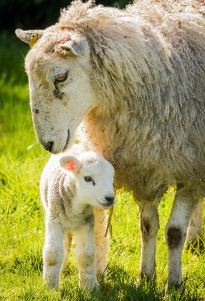 A Photograph Showing A Sheep Standing In The Sun Over Her Newborn Lamb In Snowdonia, Wales.
