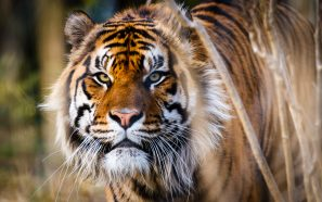 A Photograph Of A Sumatran Tiger Staring Into The Camera, Taken At London Zoo.