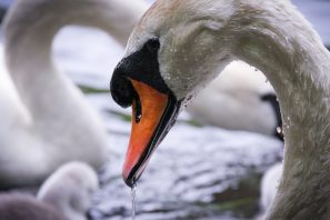 A Close-up Photograph Of A Swan With A Cygnet In The Background, Taken At Queensmere On Wimbledon Common, London.