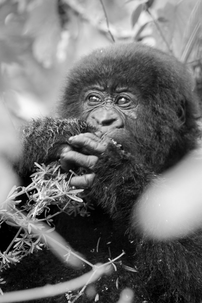 A black and white photograph of a baby mountain gorilla eating vegetation in the Volcanoes National Park, Virunga Mountains, Rwanda.