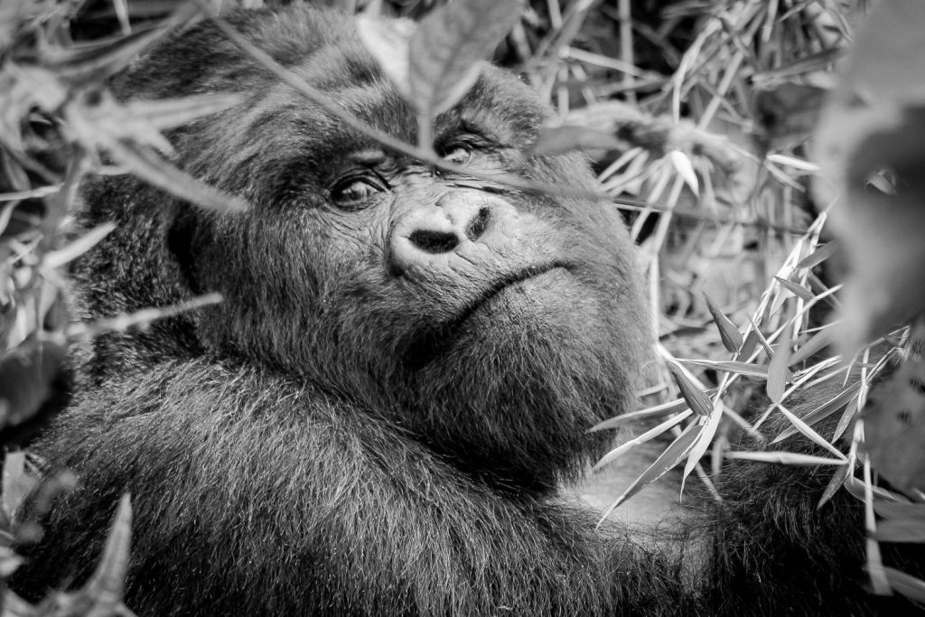 A black and white photograph of a mountain gorilla in the Volcanoes National Park, Virunga Mountains, Rwanda.