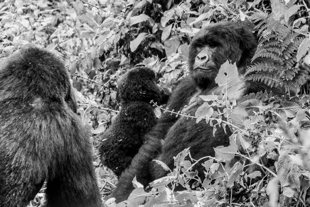A black and white photograph of a group of mountain gorillas including a baby in the Volcanoes National Park, Virunga Mountains, Rwanda.