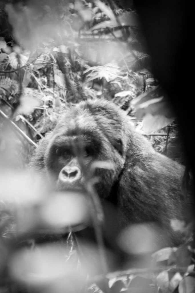 A black and white slightly blurry photograph of a mountain gorilla through vegetation in the Volcanoes National Park, Virunga Mountains, Rwanda.