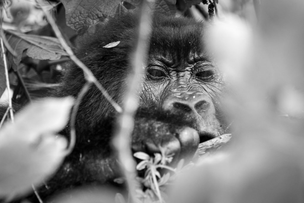 A black and white photograph of a mountain gorilla focussing on some bark in the Volcanoes National Park, Virunga Mountains, Rwanda.