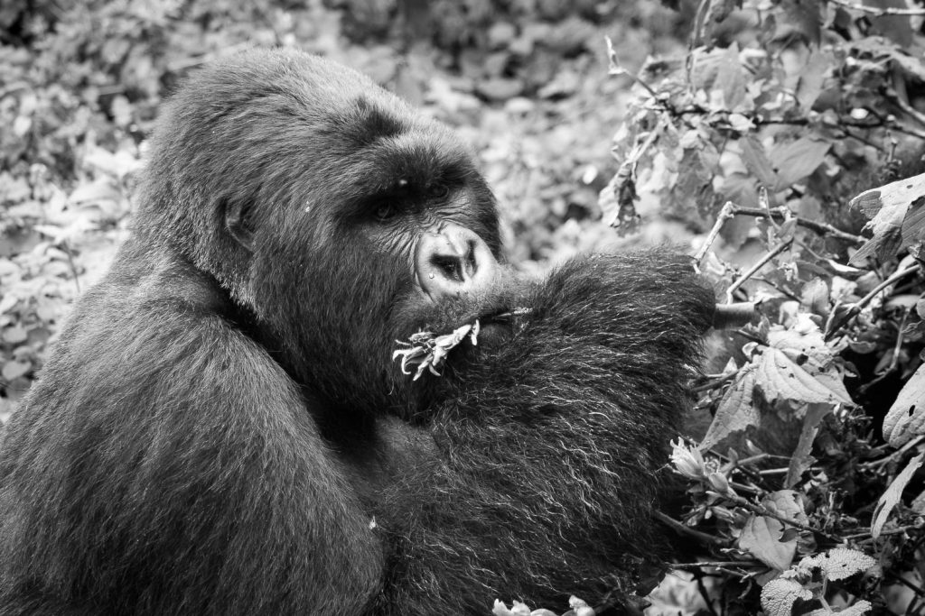 A black and white photograph of a silverback mountain gorilla eating vegetation in the Volcanoes National Park, Virunga Mountains, Rwanda.