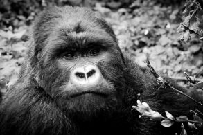 A Black And White Photograph Of A Silverback Mountain Gorilla In The Volcanoes National Park, Virunga Mountains, Rwanda.