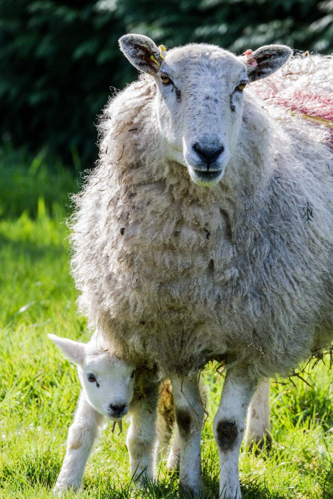 A photograph of a newborn lamb peeking out from beneath its mother on a farm in the Snowdonia National Park, Wales.